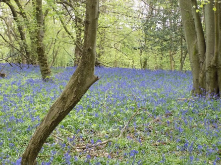 Bluebells in Downe