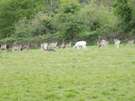 Downe Deer